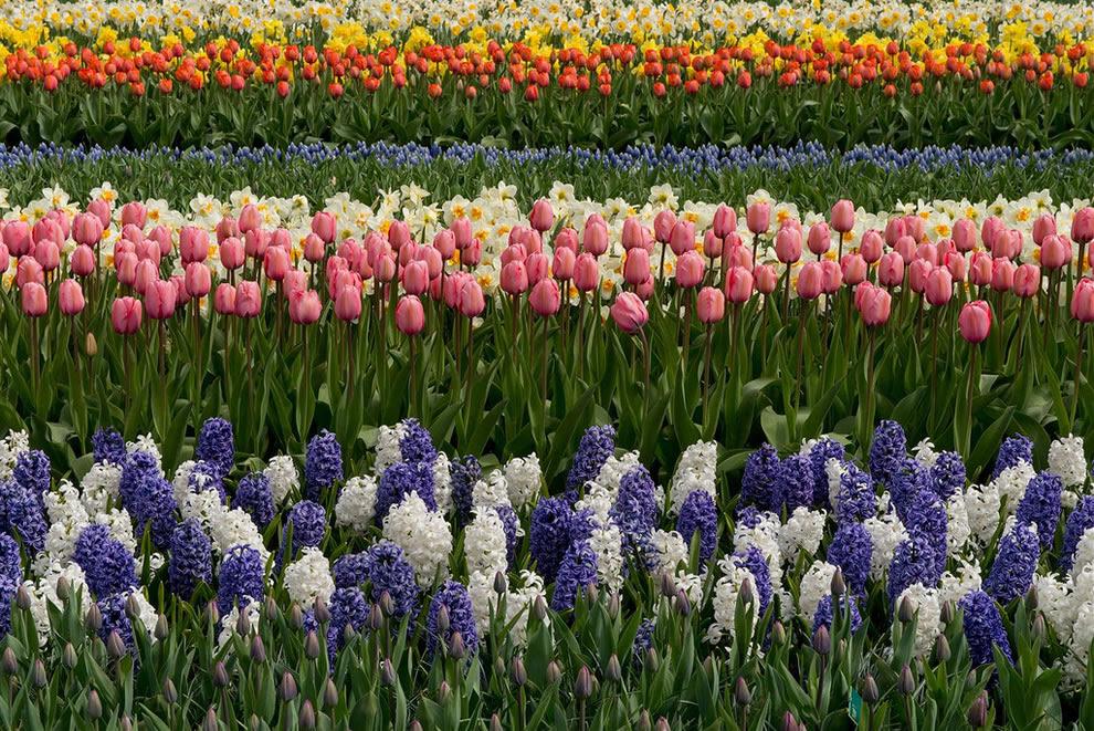 Keukenhof έχει μεγαλύτερο κήπο λουλουδιών στον κόσμο για πάνω από 50 χρόνια με 7 εκατομμύρια βολβοί φυτεύονται σε ετήσια βάση