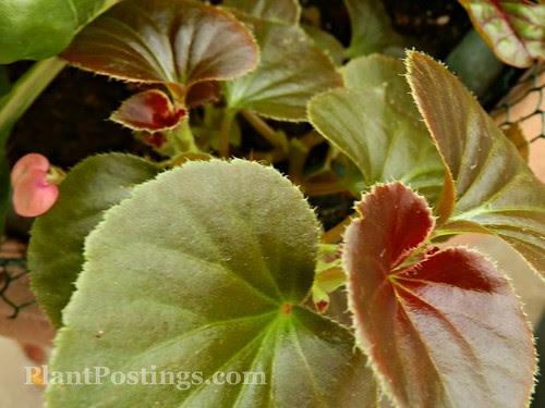 begonia1