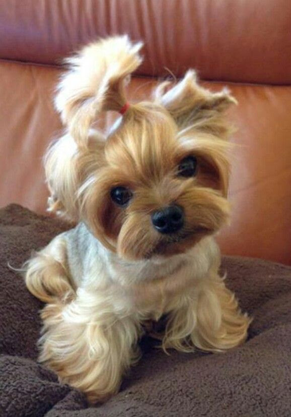 Yorkshire Terrier Puppies For Sale | Sacramento, CA #264555