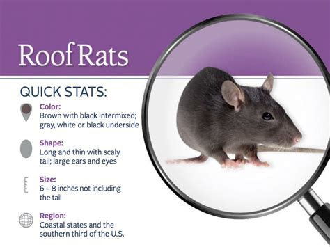 Roof Rats Pest Profile   Info & Photos