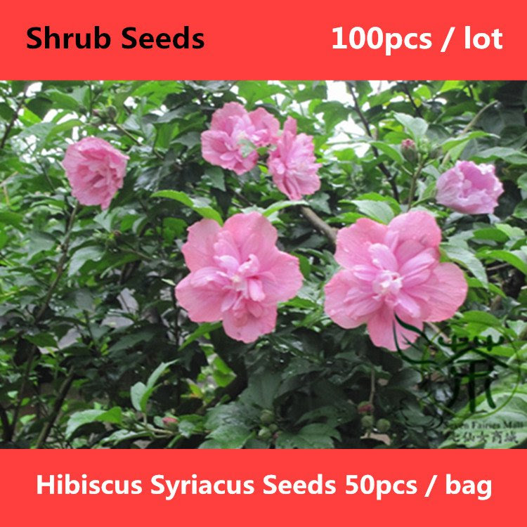 Hibiscus Syriacus Seeds 100pcs Mujin Rose Of Sharon Seeds