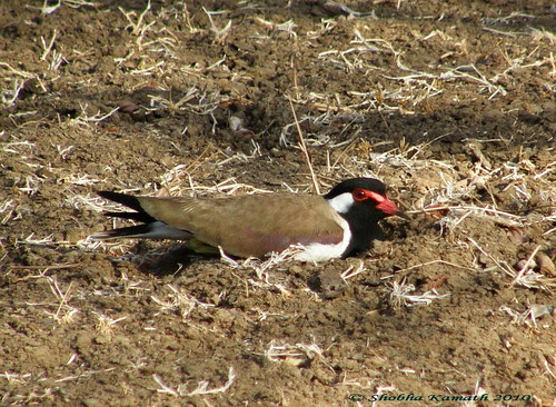 Gir Forest - Lapwing 2