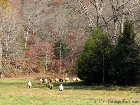 Rounding up the sheep surrounded by autumn color 11 - FarmgirlFare.com