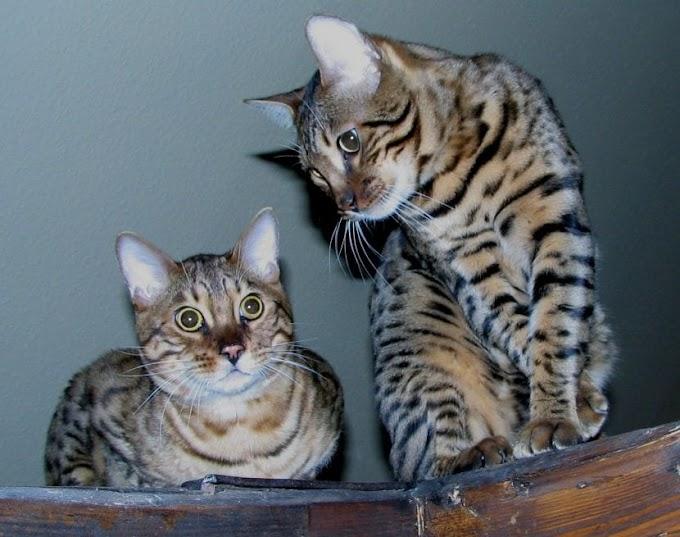 El gato bengalí, un peludo de mirada salvaje y corazón enorme