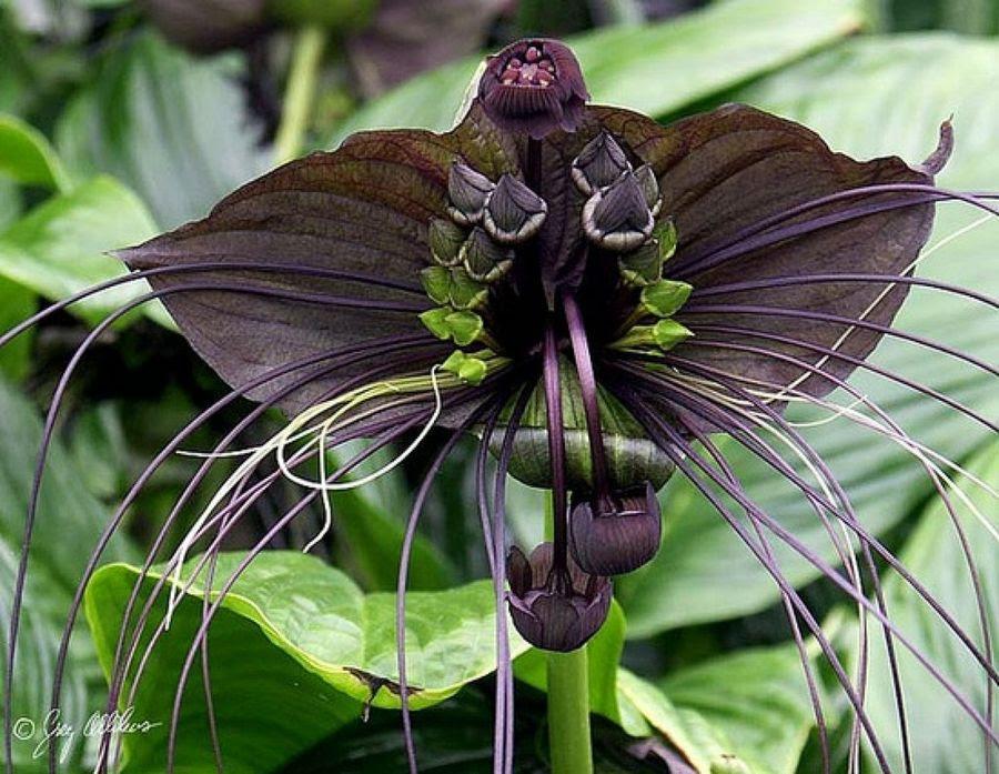 Las Inusuales Y Raras Flores Negras Plantas