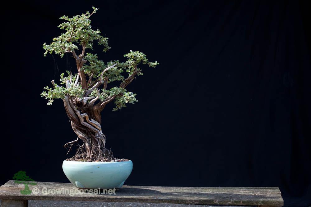 Taking Pictures Of Bonsai Growing Bonsai