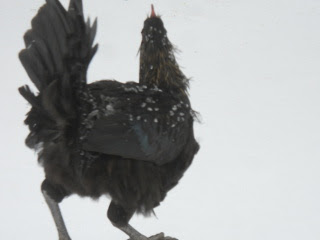 Winter Weather Chicken Escapee