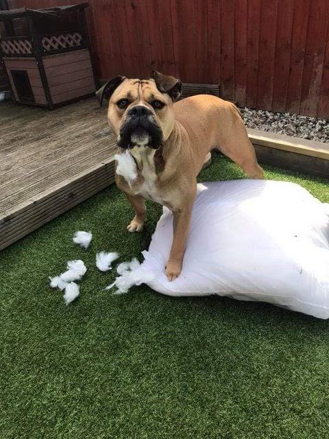 Winston – 3 year old male Bulldog Cross