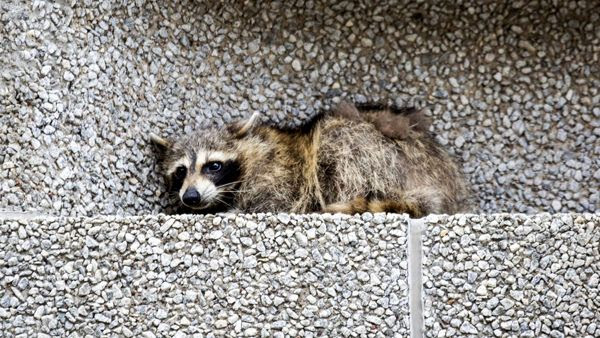 A snapshot of MPR Raccoon lying on a ledge at the Town Square Building in St. Paul, Minnesota...on June 12, 2018.