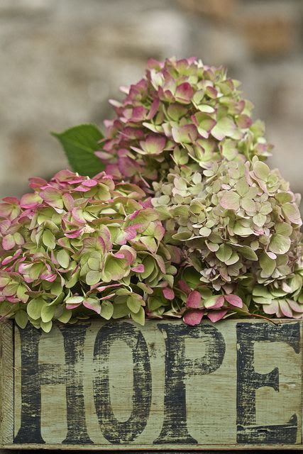 Hydrangea Hamburg in all its Vintage glory!