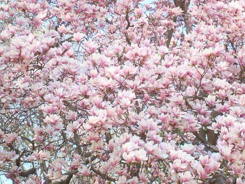 Sea of Pink Magnolias