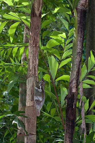 colugo flying lemur IMG_5604 copy
