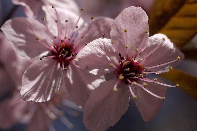 cherry blossom, portland center park