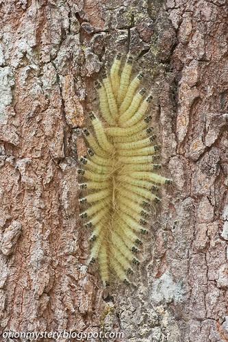 IMG_8425 copy Caterpillars in Cycloalexy arrangement