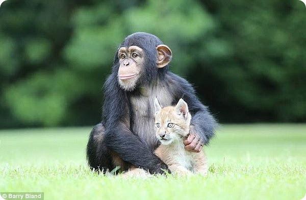 Рысенок и шимпанзе - лучшие друзья