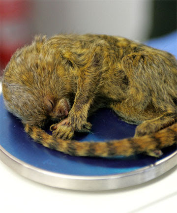 TINY: The infant pygmy marmoset weighs just 72.61 grams.