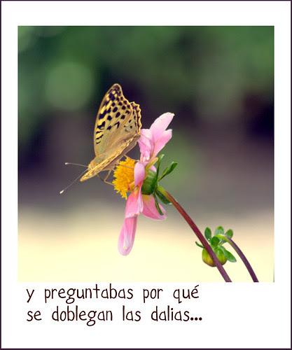mariposa con dalia