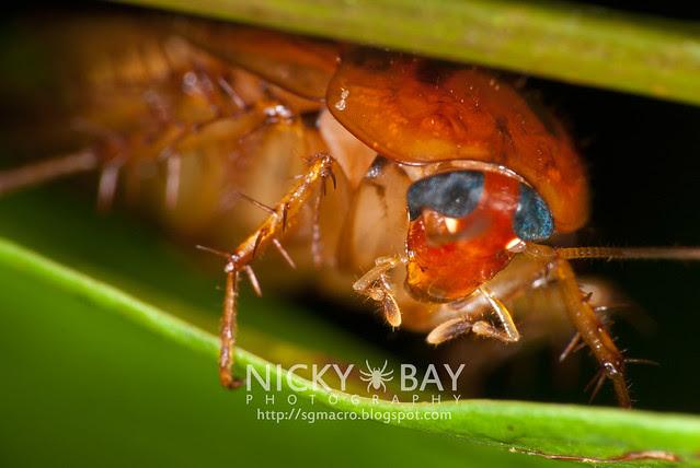 Cockroach (Blattodea) - DSC_0379