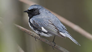 Black-throated Blue Warbler -- Rondeau Provinc...