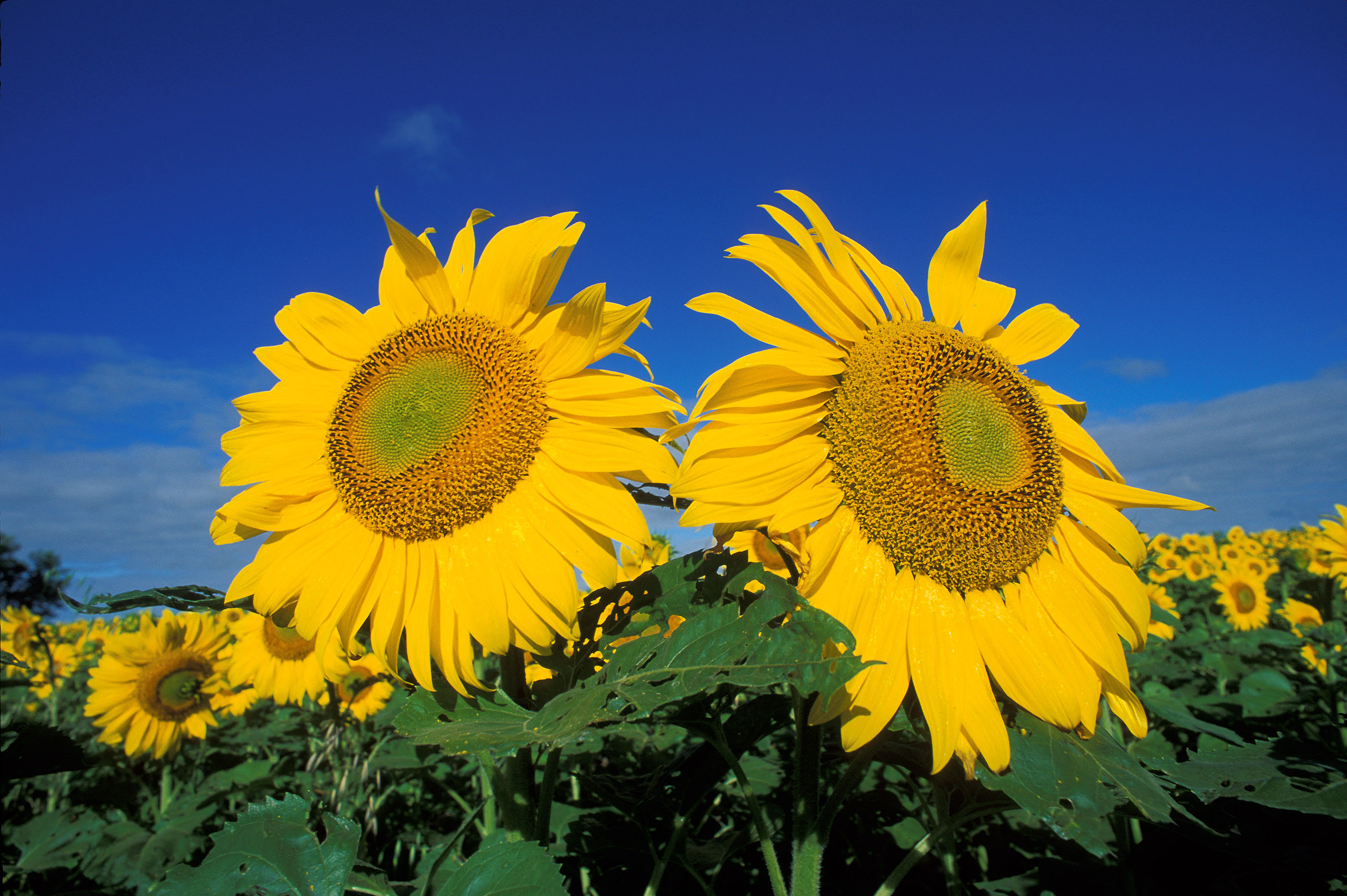 Sunflowers | Free Images at Clker.com - vector clip art ...