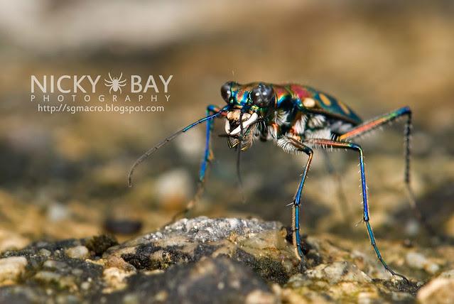 Tiger Beetle (Cicindelinae) - DSC_7019