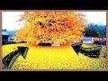 Conoce al llamado árbol de oro de 1400 años