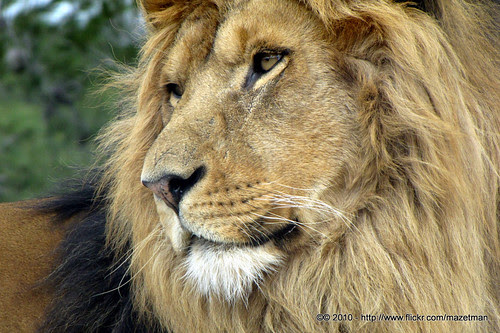 King of Lions (Panthera Leo)
