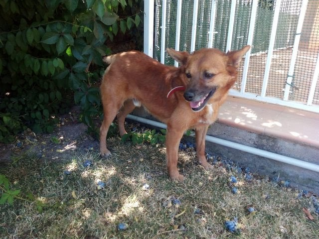 Chico – 9 year old male Cross-Breed