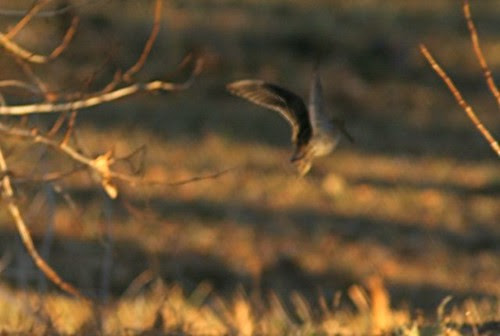FlyingSnipe