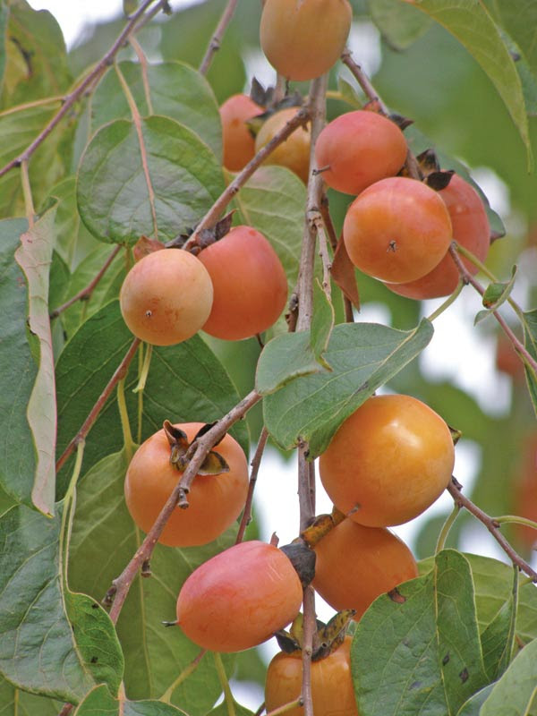 Native Americans and Indiana Persimmons - how to make wine? Persimmon Recipes, Wine, Patience, and History: How to Make it!