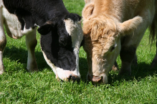 Sadie and Howie sharing grass