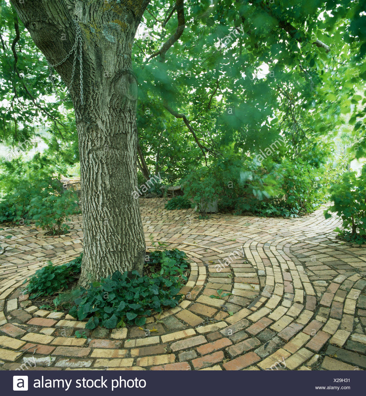 large tree in circular brick paving in country garden in summer X29H31