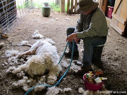 (28-4) Halfway through shearing Marta - FarmgirlFare.com