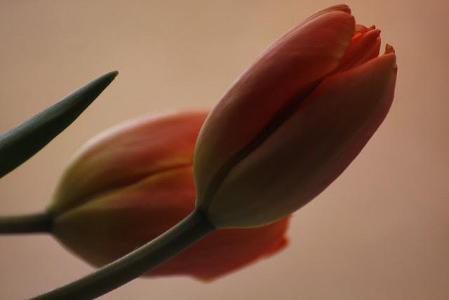 orange tulip2