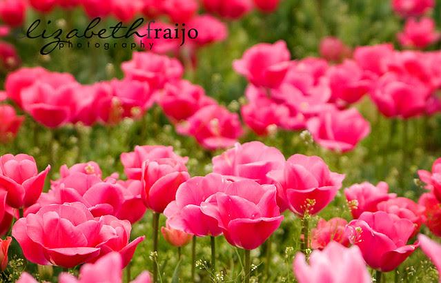 Tulips15W