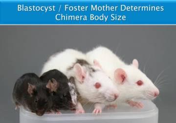 Las quimeras tienen el tamaño de la especie receptora, y no de la donante de células madre.