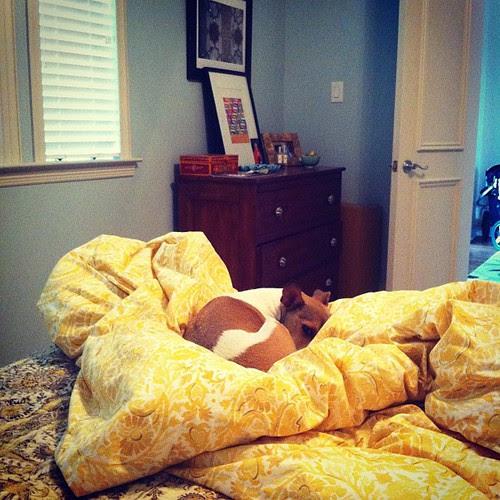 {Day 15} #yellow duvet / tan pup #junephotoaday