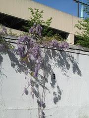 wisteria by Teckelcar