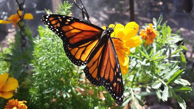 Monarch butterfly photos