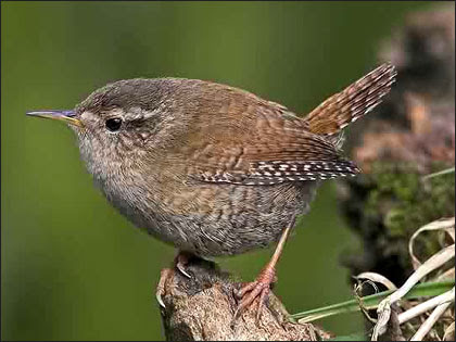 http://www.bbc.co.uk/stoke/content/images/2007/04/05/wren_420x315.jpg