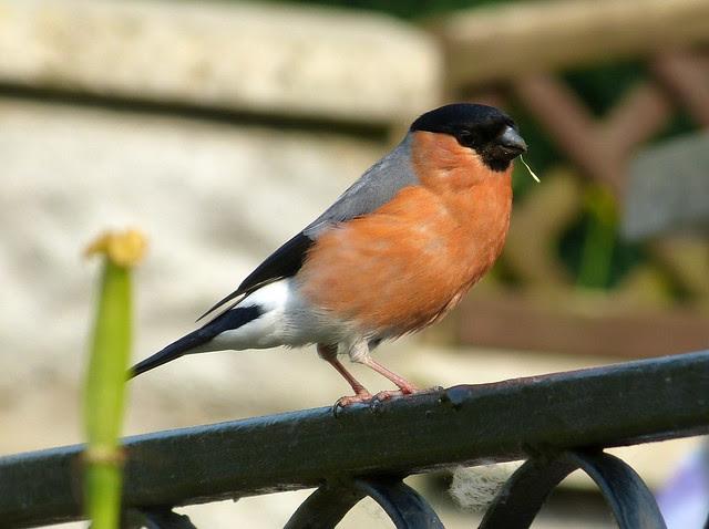 27327 - Bullfinch, Garden