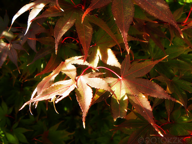 DSCN6889 Japanese Maple