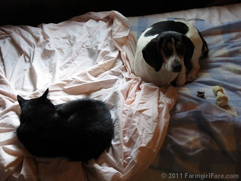 Mr. Midnight and Beagle Bert sacked out on the daybed 2 FarmgirlFare.com