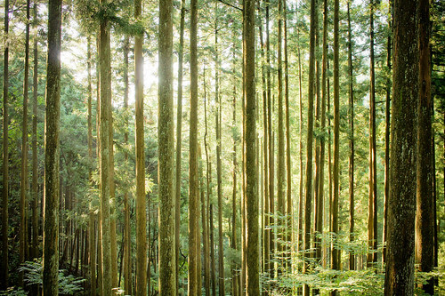 Sugi Forest