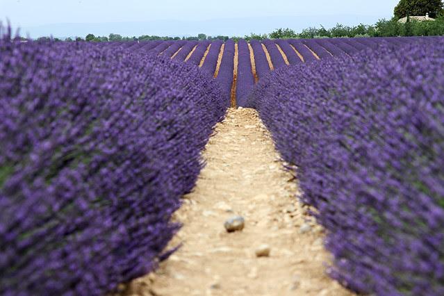 ProvenceLavender10