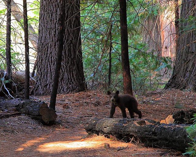 IMG_9819 Black Bear Cub on Zumwalt Meadow Trail, Kings Canyon National Park
