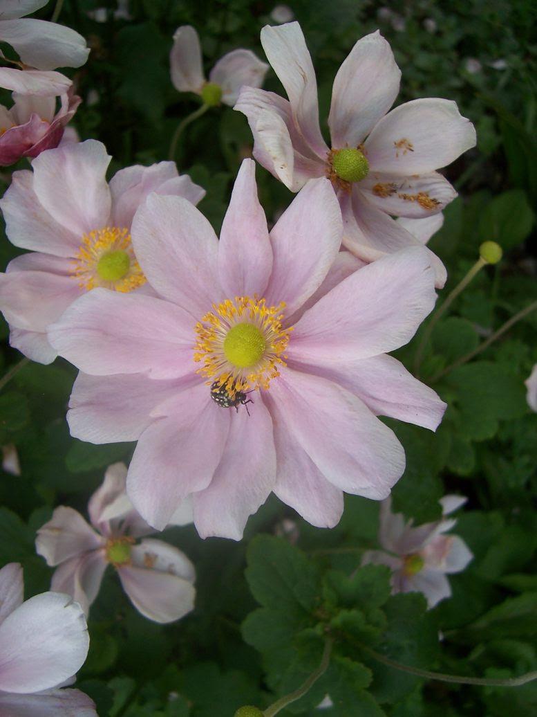 Anémone du Japon - Photo de fleur