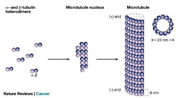 Dibujo20090601_tubulin_heterodimers_microtubule_(C)_nature_reviews_cancer