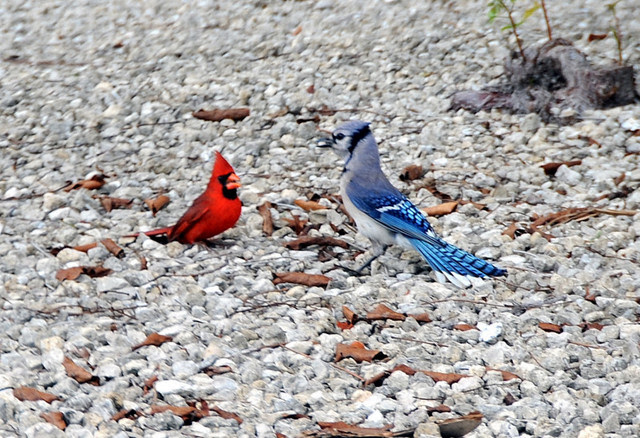 Five Reasons For Blue Jays Fans To Like The Cardinals Bluebird Banter