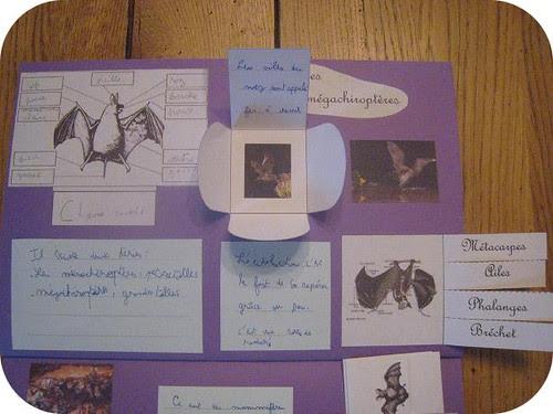 photos site lapbook Chauve souris5
